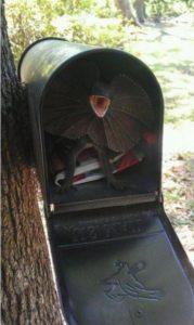 Frill Necked Mail Box