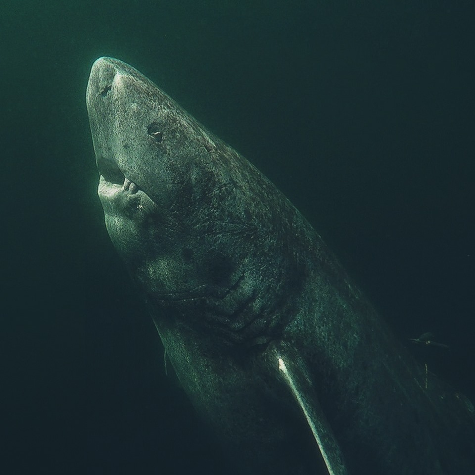 400-year-old Greenland shark 'longest-living vertebrate'