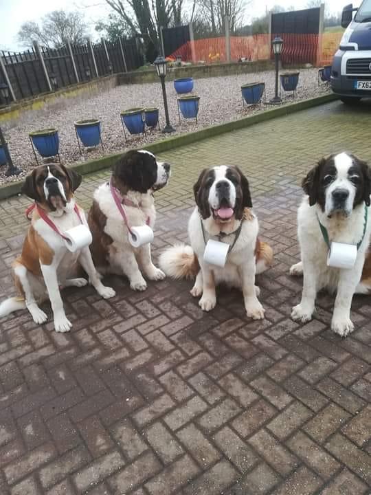 St Bernard Rescue Dogs